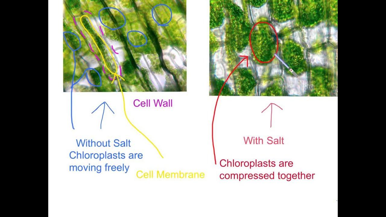 elodea leaf cell diagram polaris wiring snowmobile under microscope 40x leafjdi co lab diagrams