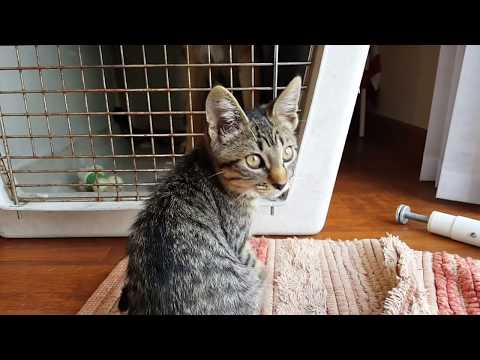 Kitten Playing With German Shepherd | Training Dog to be Gentle With Cats