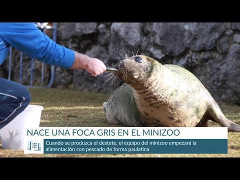 Nacimiento foca gris en el minizoo de la Magdalena
