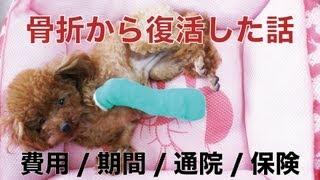 なっちゃん(トイプードル・メス・1歳)、全治二か月の左前足骨折から復...