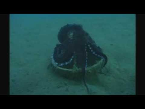 Octopus human behavior