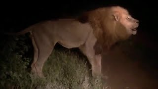 Hyenas mess with the wrong male lion.