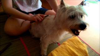 Sembawang Animal Quarantine Station Day 06 - Handstripping Toto Our Westie