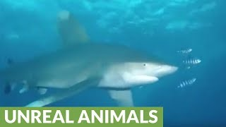 A dangerously curious shark repeatedly attacks this diver!