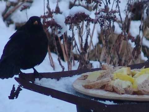 Blackbird - The King