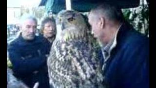Giant Eagle owl in Barnoldswick 2