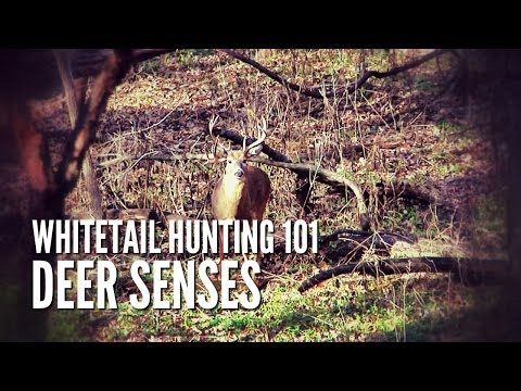 Whitetail Hunting Tips 101: Deer Senses