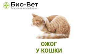 Ожог у кошки