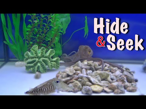 Octopus And Cuttlefish Play Hide And Seek