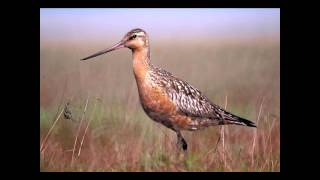 Was it Designed? The Bar-Tailed Godwits Navigational System