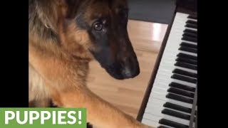 German Shepherd puppy loves the piano