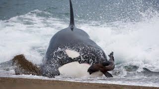 Бесшумные морские охотники - КОСАТКИ В ДЕЛЕ! Косатки против тюленей, дельфинов, акул и даже китов! смотреть онлайн в хорошем качестве - VIDEOOO