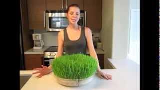 Updated: How to Gŗow Wheatgrass