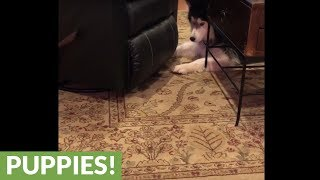 Dog struggles to fetch ball under rocking recliner