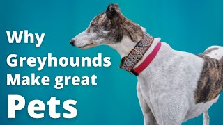 Why Greyhounds make great pets