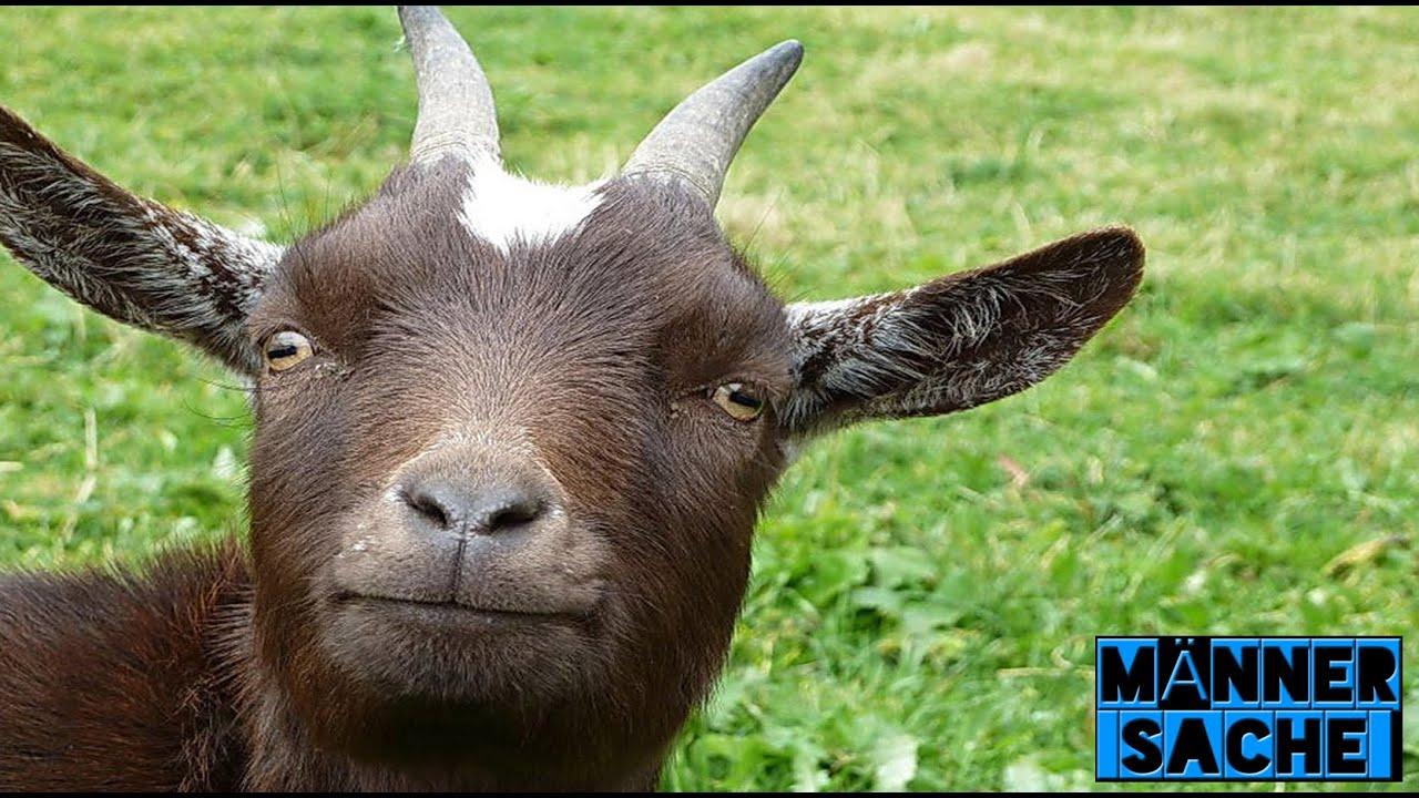 Lustige Ziege Goat Compilation M 228 Nner Sache Youtube
