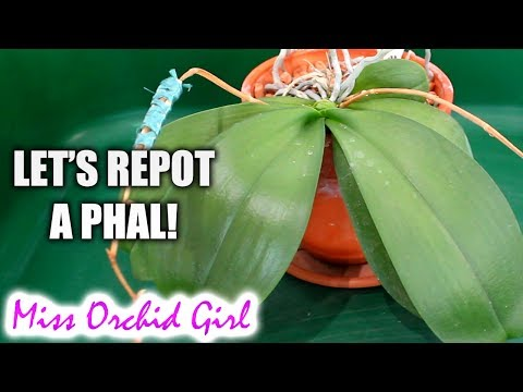 Repotting Phalaenopsis Orchid in clear plastic pot - The last of the clay pots