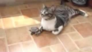 Кошка и черепаха