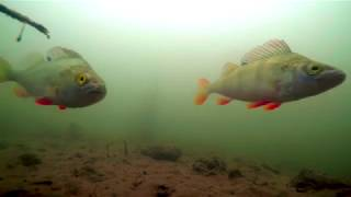 Underwater River Thames Perch Roach Dace