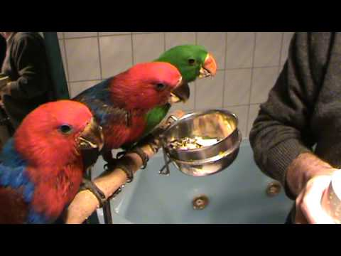 Feeding 3 Baby Eclectus Parrots Youtube