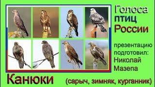 Канюки. Голоса птиц России