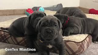 5 Week Old Neapolitan Mastiff Puppies