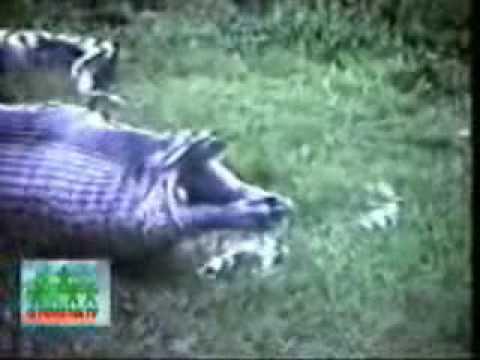 Serpiente comiendo un Hipopotamo!!??!