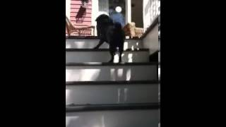 Pug Walking Up Stairs
