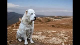 Среднеазиатская овчарка алабай в истории России