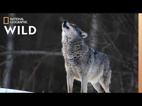 Wolves 101 | Nat Geo Wild