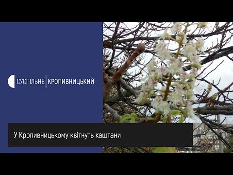 Суспільне Кропивницький: У Кропивницькому квітнуть каштани