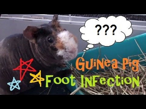 Guinea Pig Foot Infection YouTube