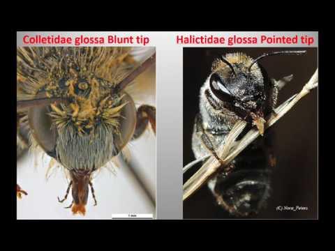 Australian Bees and Fauna