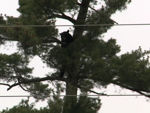 Bear in Tree in Central Wisconsin Town