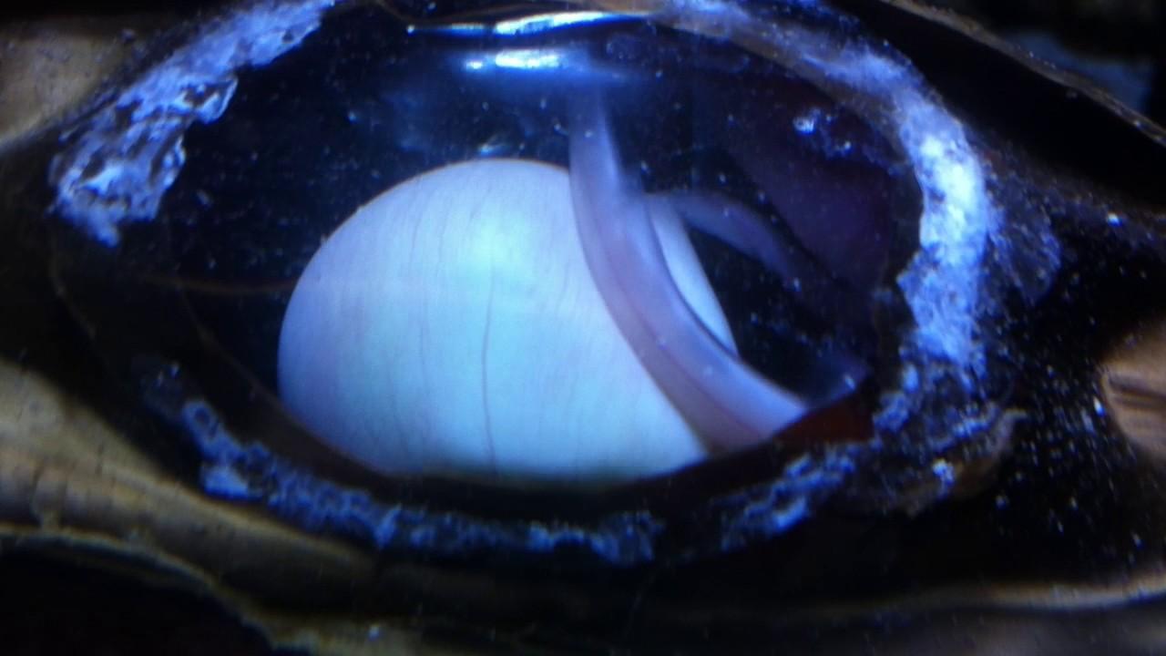 Live Black Banded Cat Shark Egg View - YouTube