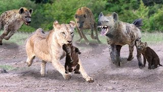 Mother Hyenas Save His Baby Fail and Attack Lions To Revenge - Lions Vs Hyenas Real Fight
