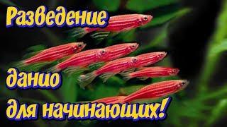 Разведение Данио для начинающих аквариумистов в 3 -х литровой банке! Аквариумная рыбка Данио!