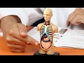 Human Body Anatomy Model Learn Your Organs Fun Science For Kids mp3