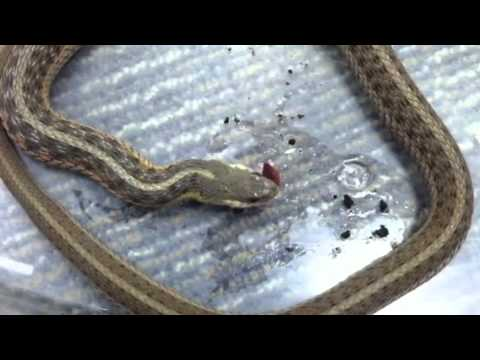 Garter snake eating a worm - YouTube