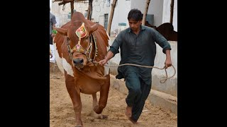 Cow Attack Funny Video ●Best Comedy Animal Fails Compilation 2021◆Funniest vines Completion kids