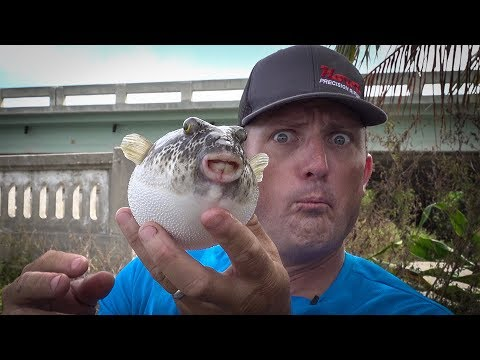 Poisonous PUFFER!!! {Catch Clean Cook}