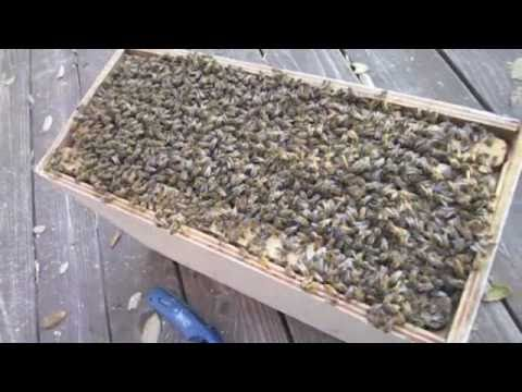 HOW TO GET BEES OUT OF A WALL!!!!
