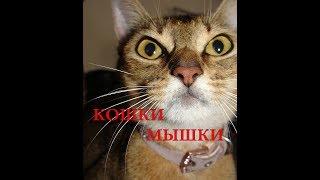 Абиссинская кошка, игра кошки мышки.