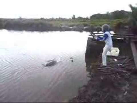 Vissen bodemvissen in brak water rivier Borneo # Fishing Mania Steady