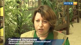Черные котята ягуара показали когти в Ленинградском