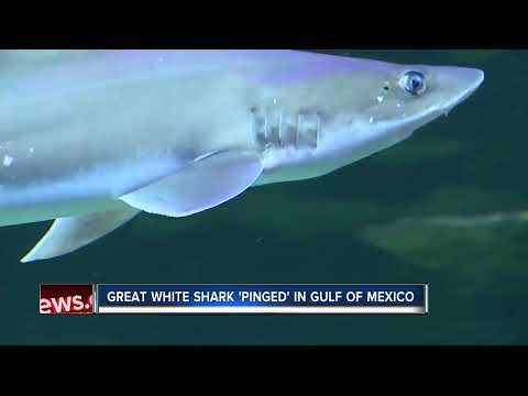 12-foot-long white shark pinged in Gulf near Tampa on New Year's Day