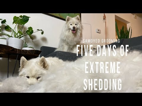 Five Days of Extreme Samoyed Shedding   Tips and Tricks on How to Groom Your Double Coated Dog