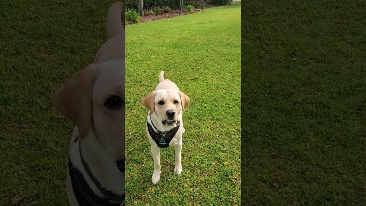 Labrador Dog Playing and Enjoying at a Park #Shorts