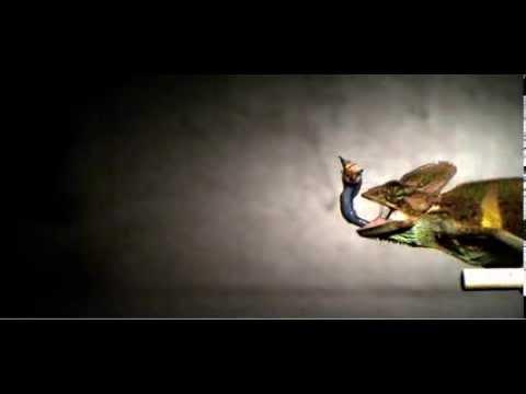 Veiled chameleon shooting its tongue