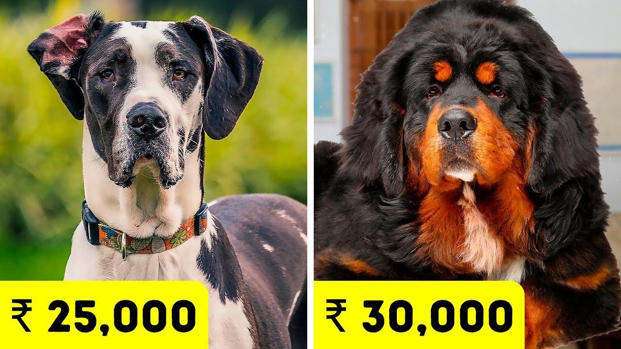 Les races de chiens les plus chères en Inde 2020 + vidéo